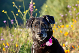Cute-Black-Dog-Looking-at-Camera-in-Sunny-Wildflowers-on-a-hike
