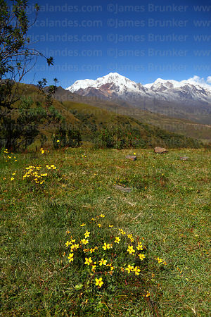 Yellow flowers in high altitude grassland, Mts Illampu (L) and Ancohuma (R) in background, Cordillera Real, Bolivia