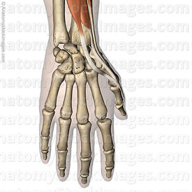 hand-thumb-muscles-dorsal-tendons-musculus-abductor-pollicis-longus-extensor-pollicis-brevis-longus-tendon-proximal-distal-ph...