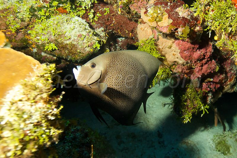Angel fish in Caribbean sea
