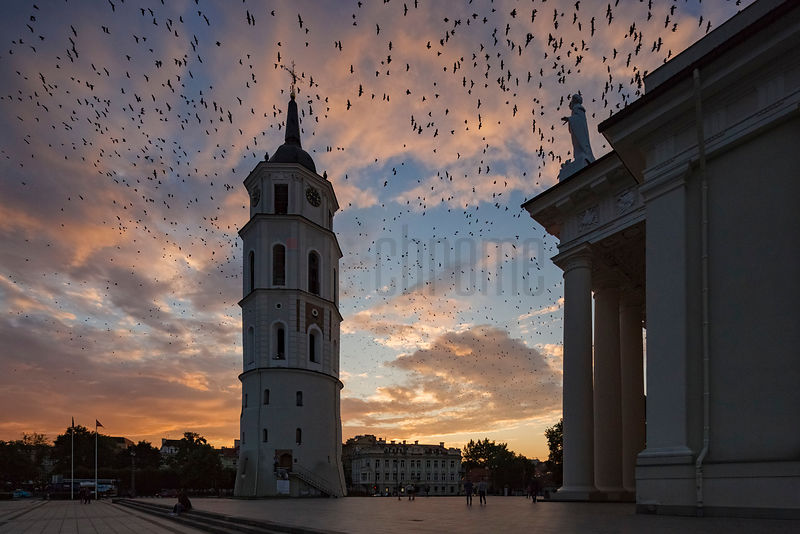 Blackbirds Flying over the Vilnius Cathedral at Sunset