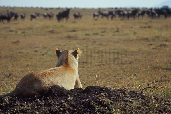 African Lion (Panthera leo) and a Gnu Herd Watching Each Other