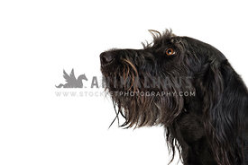 side headshot of large black hound on white backdrop