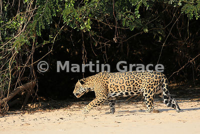 Male Jaguar (Panthera onca) 'Hero' follows 'Hunter' (not shown) down the beach, Three Brothers River, Northern Pantanal, Mato...