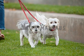 Two-Dogs-Walking-On-Leash-In-Grass