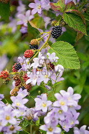 Brambles (blackberries) and campanula