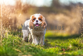 caalier king charles standing in a grassy field in the sun
