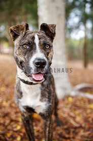 Rescue brindle pied Staffy standing in forest smiling