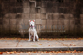 White Pit Mix in Urban Setting