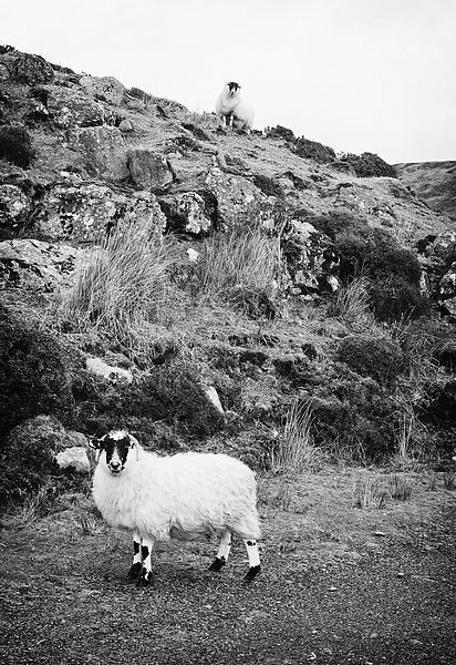 Comeragh_sheep_part_deux_25022016