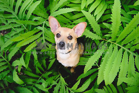 chihuahua in fern plants