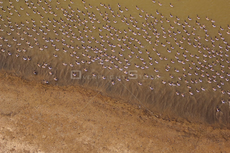 Aerial view of a large flock of Brant geese (Branta bernicla) molting on a shallow lake in the Teshekpuk Lake Special Area