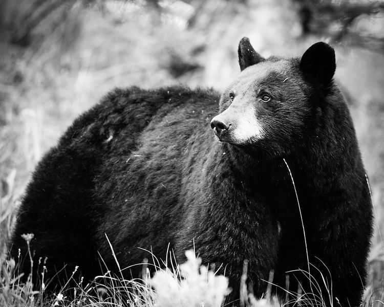 5827-Ours_bruns_du_Yellowstone_Wyoming_2014_Laurent_Baheux