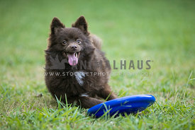 happy pomeranian laying in the grass with a frisbee