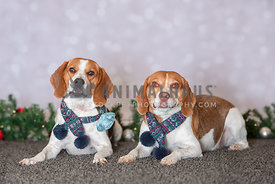 2 beagles lying down wearing blue scarfs