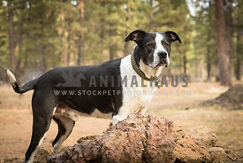 mixed breed black and white dog with collar and tags stands in rustic parklike setting