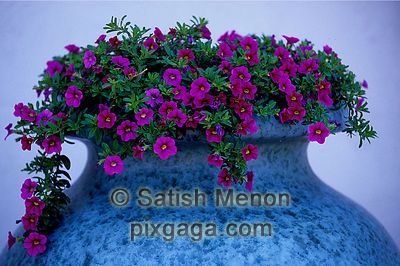 Bougainvillea in blue vase
