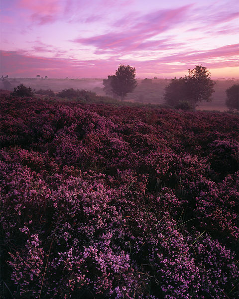 A fantastic dawn sky over heather in full bloom at Longslade in the New Forest. Dawn mist has formed in the shallow valley and drifts on the first zephyrs of the day.