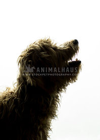 Silhouetted headshot of shaggy dog's profile in studio
