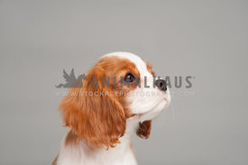 close up blenheim cavalier king charles puppy looking to the right face