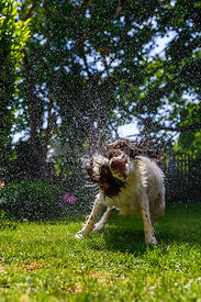 Liver and White Springer Spaniel shakes off water in garden