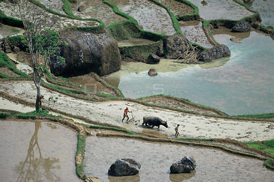 Aerial view of Farmers using Water buffalo {Bubalus arnee} to plough flooded rice fields, Central Sulawesi, Indonesia, 2000.