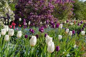 spring border with tulipa 'Mistress', 'Topkapi','Negrita'