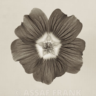 Close-up of Lavatera Flower (Sepia)