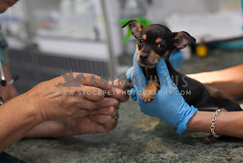 chihuahua getting vaccine