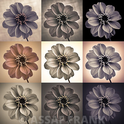 Collage of Dahlias flowers