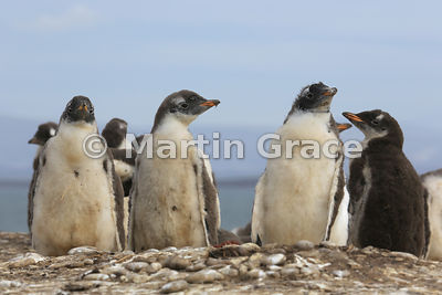 Gentoo Penguin (Pygoscelis papua papua) chicks, Bernie's Beach colony, Pebble Island, Falkland Islands