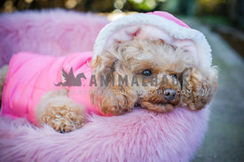 Poodle wearing pink jacket
