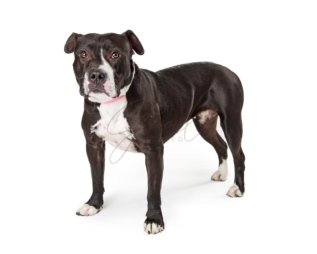 Black Pit Bull Terrier Dog Standing Side