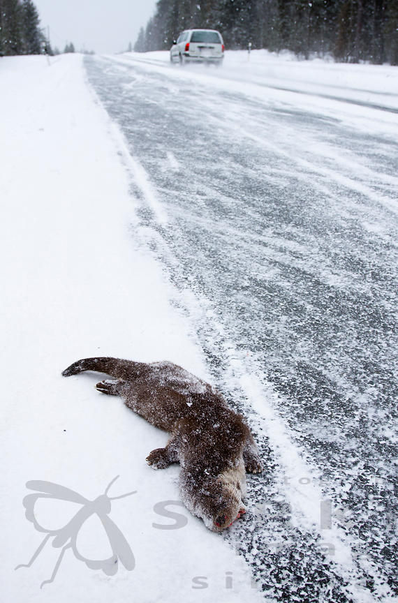 Otter Killed by Car