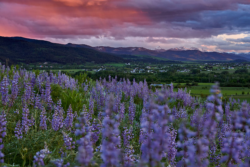 Lupine Last Light