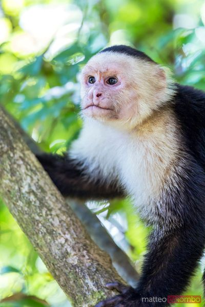White headed capuchin monkey, Manuel Antonio National Park, Costa Rica