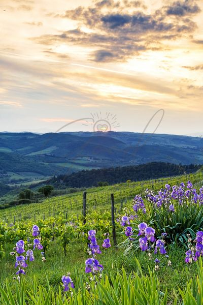 Sunset Over Chianti With Iris