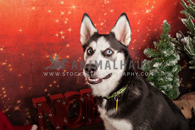 black and white husky with eye contact against christmas backdrop