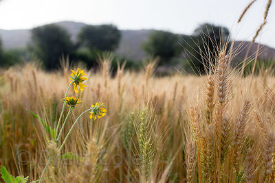 Detail of chapati wheat and flowers on a farm in Amba village, Rajasthan, India