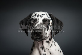 Dalmation puppy with eyes closed on grey background
