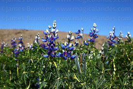 Field of Lupinus mutabilis (known locally as tarwi), Isla del Sol, Bolivia