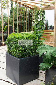 Buxus sempervirens (buis commun), Common box, en pot. Paysagiste : Didier Danet. Suresnes (92), France