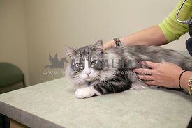 Pretty-Cat-Being-Examined-by-Veterinarian