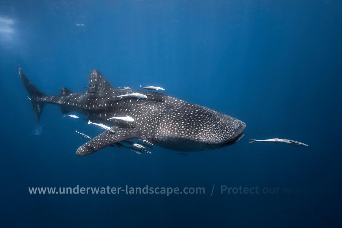 Whale shark with remoras-underwater photography