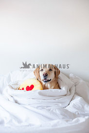labrador in bed with favorite emoji pillow