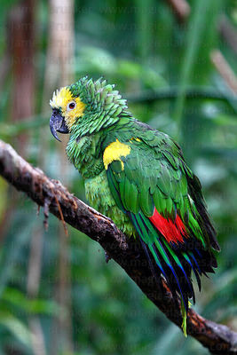 Blue fronted Amazon ( Amazona aestiva xanthopteryx )
