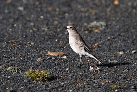White fronted ground-tyrant ( Muscisaxicola albifrons )
