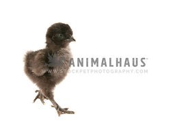 Newly hatched black chick struts toward camera