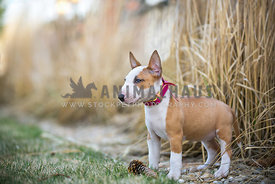 bull terrier puppy wearing a pink collar