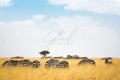 Field of Zebra in Tall Kenya Grass